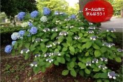 umetsu_ganbappe082_ajisai
