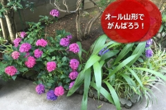 umetsu_ganbappe15_ajisai